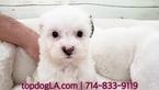 Poodle (Standard)-Shih Tzu Mix Puppy For Sale in LA MIRADA, CA, USA