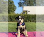 Puppy 1 Goberian