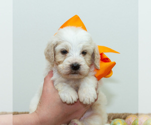 Goldendoodle Puppy for Sale in LITTLE ROCK, Arkansas USA