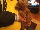 Brittnepoo Puppy For Sale in CASEY CREEK, KY, USA