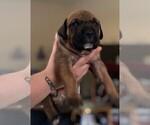 Puppy 6 Bullmastiff