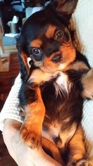 Cavalier King Charles Spaniel Puppy For Sale in CLARKSTON, MI