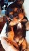 Cavalier King Charles Spaniel Puppy For Sale in CLARKSTON, MI