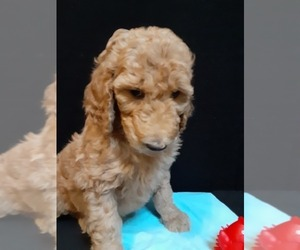 Poodle (Standard) Puppy for Sale in WAUSAUKEE, Wisconsin USA