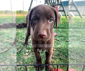 Labrador Retriever Puppy for Sale in ALBANY, Missouri USA