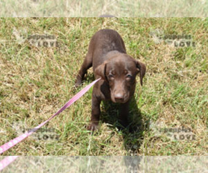 Labrador Retriever Puppy for sale in SANGER, TX, USA