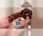 Image preview for Ad Listing. Nickname: Toy Pooch