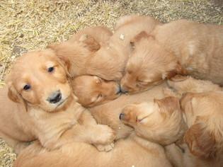 View Ad Golden Retriever Puppy For Sale Colorado Colorado City Usa