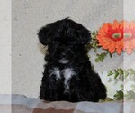 Small Poodle (Toy)-Yorkiepoo Mix