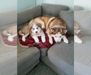 Siberian Husky Puppy for sale in FRIDLEY, MN, USA