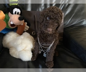Goldendoodle-Poodle (Standard) Mix Puppy for Sale in RIVERSIDE, California USA