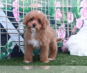 Cavapoo Puppy for sale in MARIETTA, GA, USA