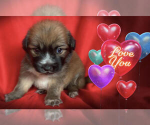 Pom-A-Poo-Pooranian Mix Puppy for Sale in SAN FRANCISCO, California USA