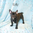 French Bulldog Puppy For Sale in CUYAHOGA FALLS, OH, USA