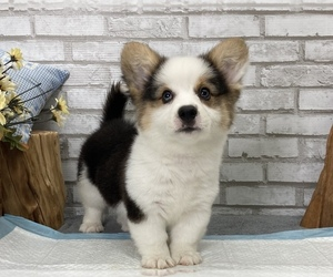 Pembroke Welsh Corgi Dog for Adoption in SAN FRANCISCO, California USA
