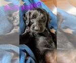 Puppy 10 Labradoodle