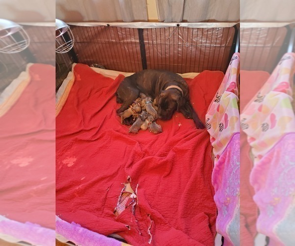 Medium Photo #1 Cane Corso Puppy For Sale in BETHEL, PA, USA