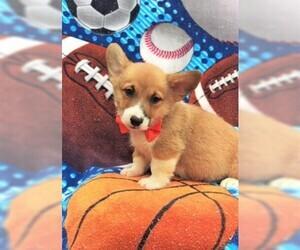 Pembroke Welsh Corgi Puppy for sale in LANCASTER, PA, USA