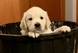 Golden Retriever Puppy For Sale in BEVENT, WI, USA