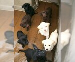 Labrador Retriever Puppy For Sale in FARNHAM, VA, USA