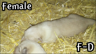 Great Pyrenees Puppy For Sale in ALDERSON, WV, USA