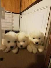 Samoyed Puppy for sale in CYR PLT, ME, USA