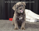 Olde English Bulldogge Puppy For Sale in DRESDEN, OH