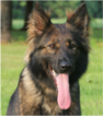 German Shepherd Dog Dog For Adoption in CASTLE HILLS, TX, USA