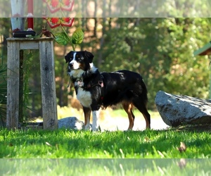 Mother of the Australian Shepherd puppies born on 09/08/2020