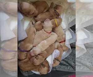 Golden Retriever Puppy for sale in SUFFOLK, VA, USA