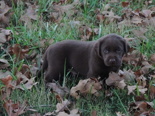 Labrador Retriever Puppy For Sale in LEASBURG, MO