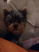 Yorkshire Terrier Puppy For Sale in JOPLIN, MO, USA