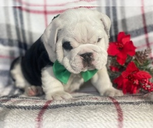 English Bulldog Puppy for sale in CEDAR LANE, PA, USA