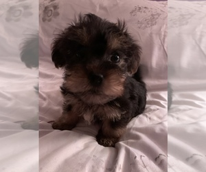 Morkie Dog for Adoption in HADDAM, Connecticut USA