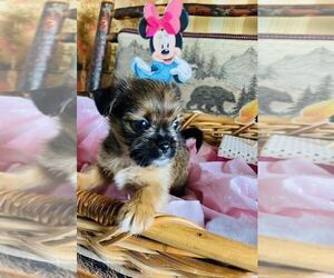 Peke-A-Poo-YorkiePoo Mix Puppy for Sale in MOUNT CLEMENS, Michigan USA