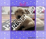 Small Photo #8 Golden Retriever Puppy For Sale in TEMPLE, TX, USA