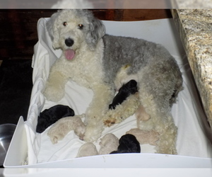 Sheepadoodle Puppy for sale in NORTH WILKESBORO, NC, USA