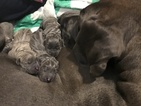 Blue Great Dane for sale