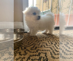 Bichon Frise Puppy for Sale in MONTECITO, California USA