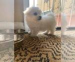 Puppy 0 Bichon Frise