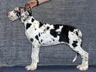 Great Dane Puppy For Sale in N BOSTON, NY