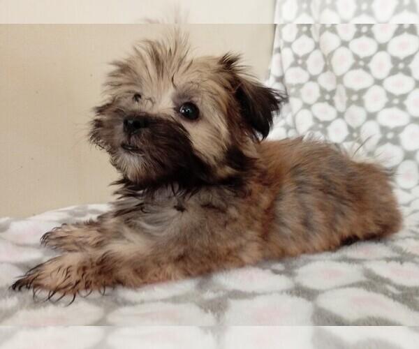 PuppyFinder com - View Ad: Photo #5 of Listing Havanese