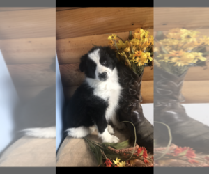 Border Collie Puppy for Sale in PINE CITY, New York USA
