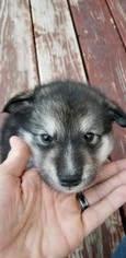 Alaskan Malamute Puppy For Sale in PASO ROBLES, CA, USA