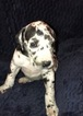 Great Dane Puppy For Sale in NORTH WEBSTER, IN,