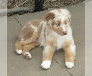 Australian Shepherd Puppy for Sale in CLAREMORE, Oklahoma USA