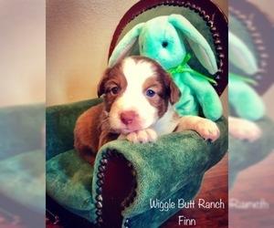 PuppyFinder com - View Ad: Listing Yorkshire Terrier Puppy