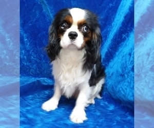 Father of the Cavalier King Charles Spaniel puppies born on 12/25/2020