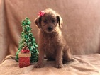 Small #5 Labradoodle-Poodle (Miniature) Mix