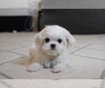 Small Maltese